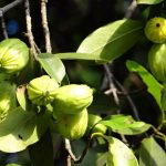 Stay in shape by shedding all bonus fat with garcinia Cambogia